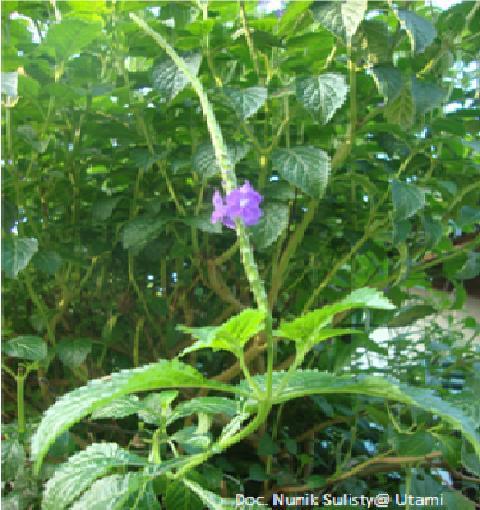 Pecut Kuda bunga ungu