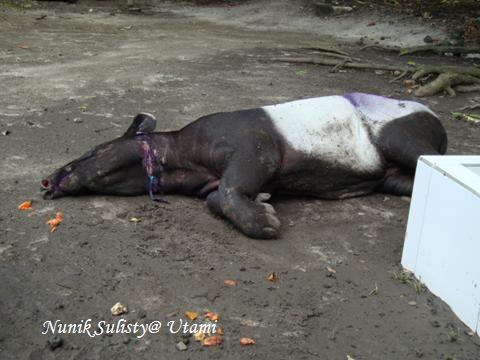 Tapir yang meregang nyawa di suatu kebun binatang