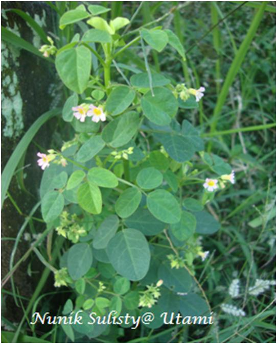 Oxalis barrelieri - Alchetron, The Free Social Encyclopedia |Oxalis Barrelieri