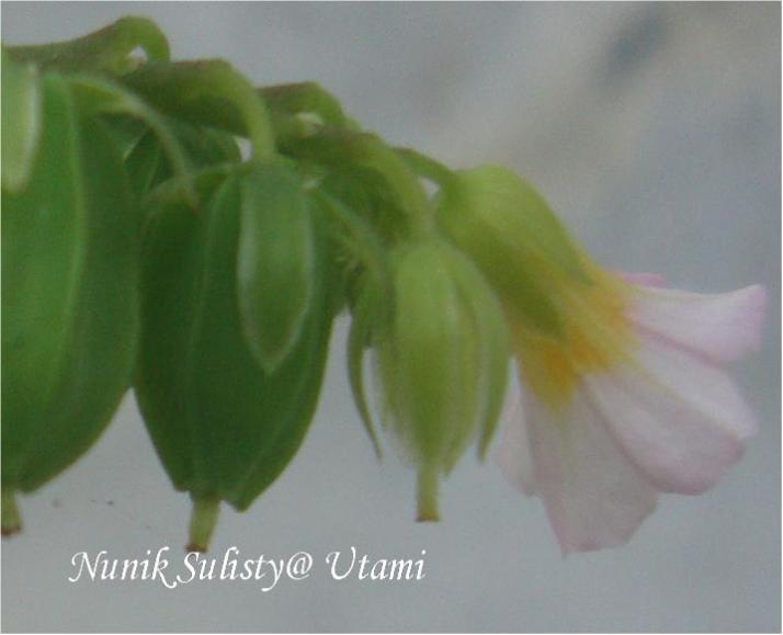 Kelopak bunga Oxallis barrelieri berwarna hijau
