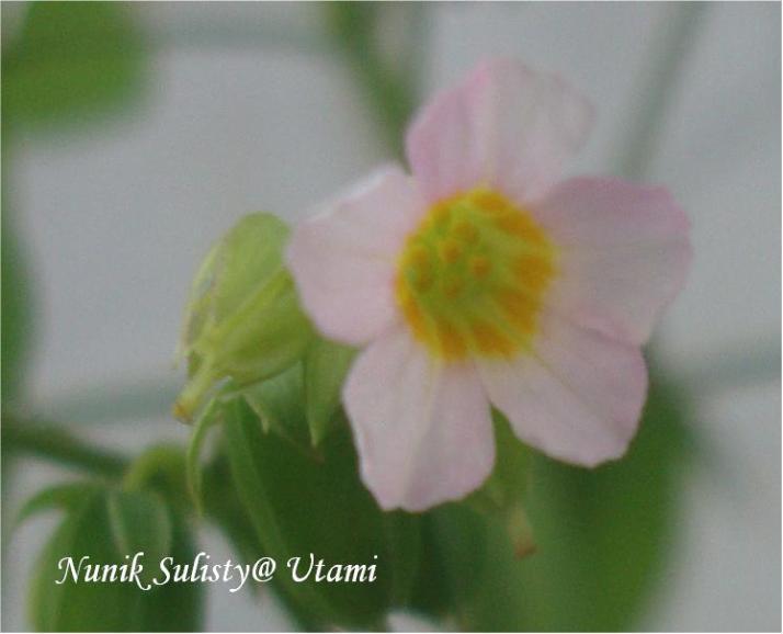 Mahkota bunga Oxallis barrelieri berwarna merah muda dan bagian dasarnya berwarna kuning
