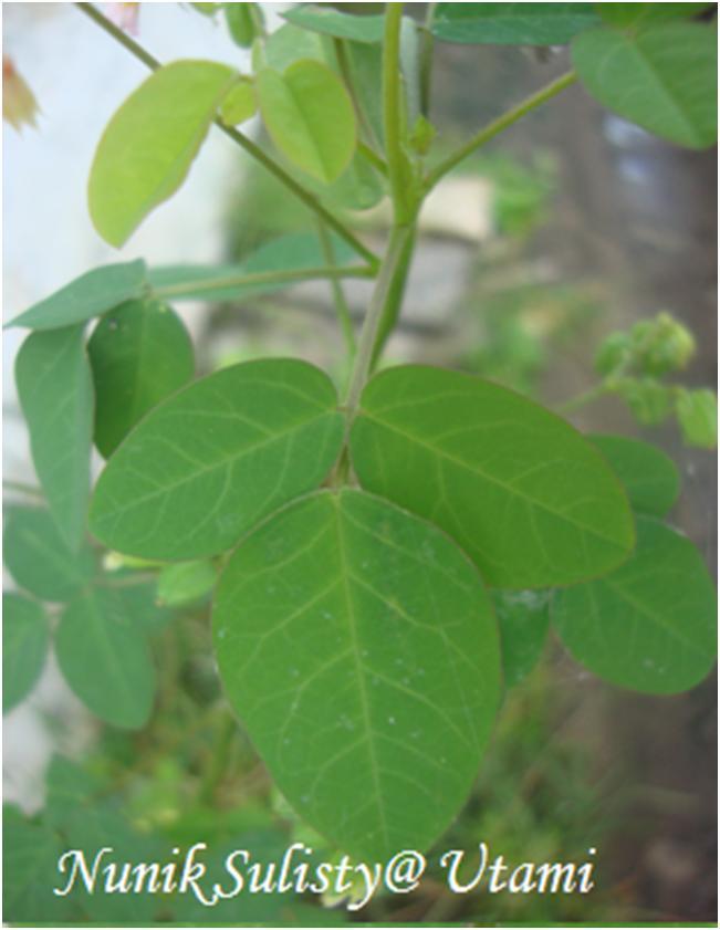 Daun Oxallis barrelieri , terdiri dari 3 anak daun (trifolia )