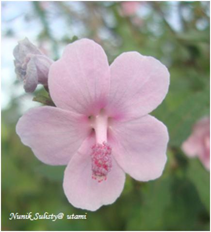 Bunga  Urena lobata