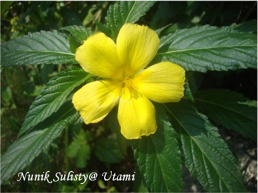 Bunga Turneria  ulmifolia