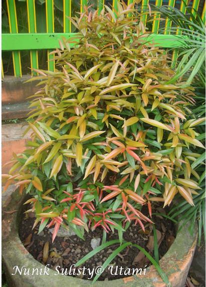 Lebih Dekat Tentang Syzygium Oleana Pucuk Merah Nunik Sulisty Utami