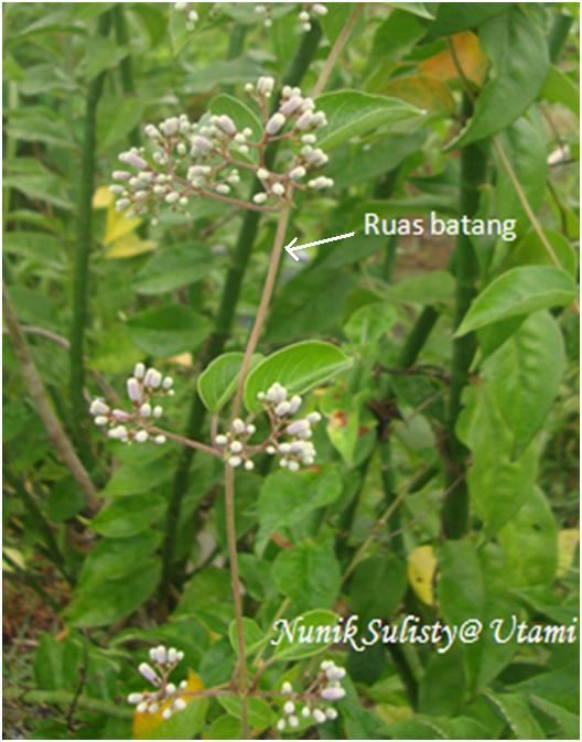 Batang Paederia foetida