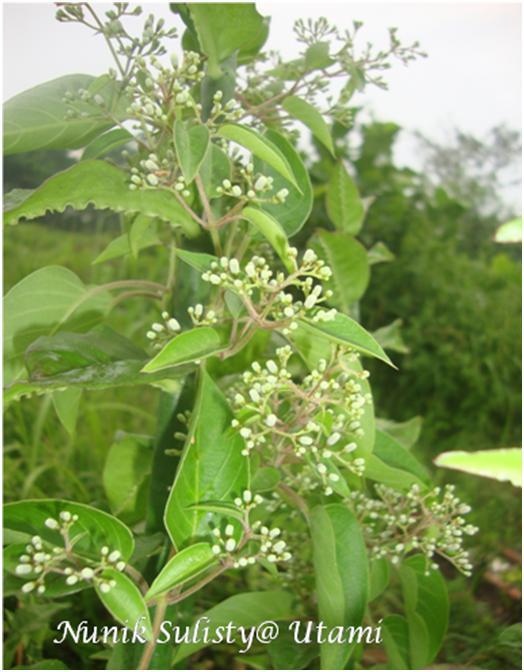 Paederia foetida yang membentuk canopy di atas tumbuhan inang