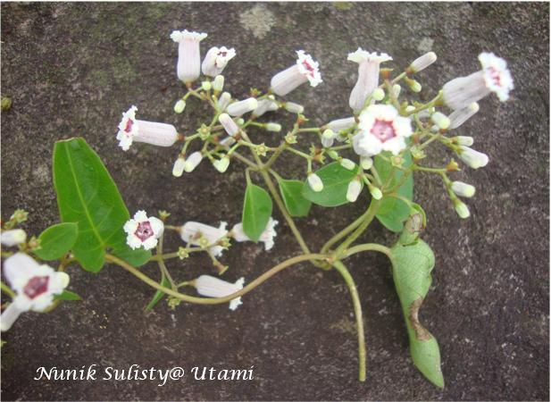 Karangan bunga Paederia foetida