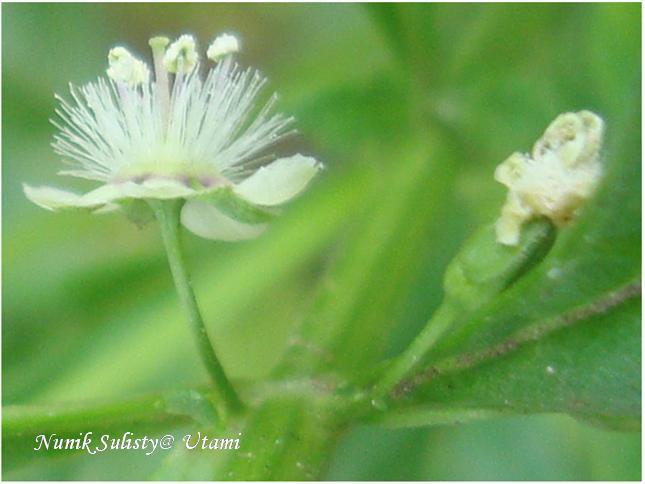 Bunga Scoparia dulchis tampak samping
