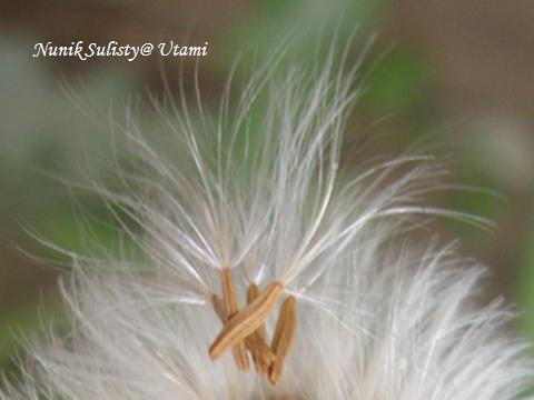 Buah atau biji yang siap diterbangkan oleh  angin.