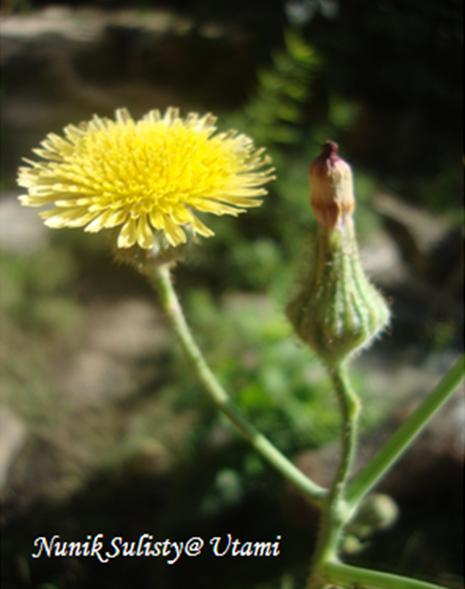 Bunga Sonchue arvensis / Tempuyung yang mekar