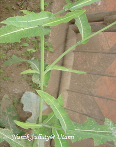 Batang Tempuyung berbentuk silindris, berwarna hijau