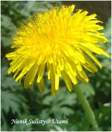 Bunga Majemuk dari Traxacum Officinale