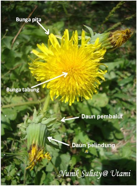 Bagian -bagian bunga Taraxacum officinale