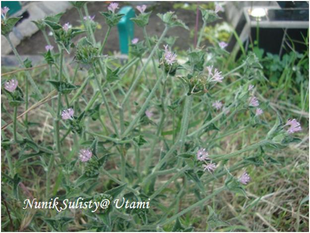 Tapak Liman dengan bunga yang berwarna  ungu muda