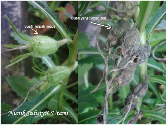Buah dari  Isotoma longiflora  PresL