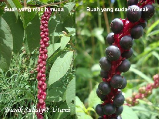 Buah Phytolaca