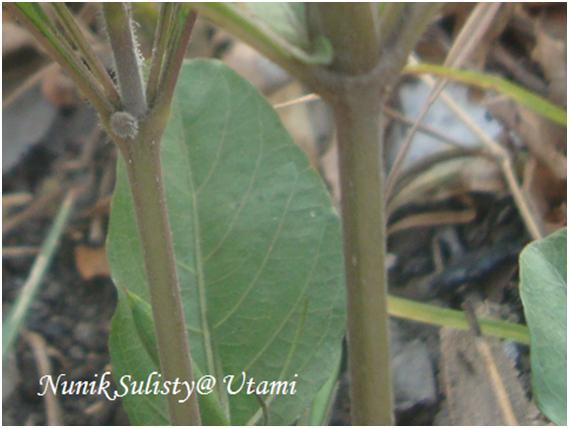 Batang Ruellia tuberosa
