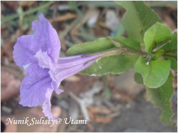 Bunga Ruellia tuberosa tampak samping
