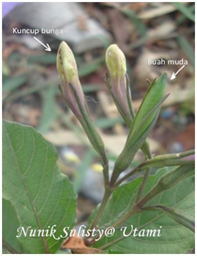 Kuncup Bunga Ruellia tuberosa