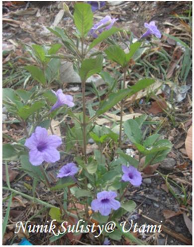 Habitus Ruellia tuberosa
