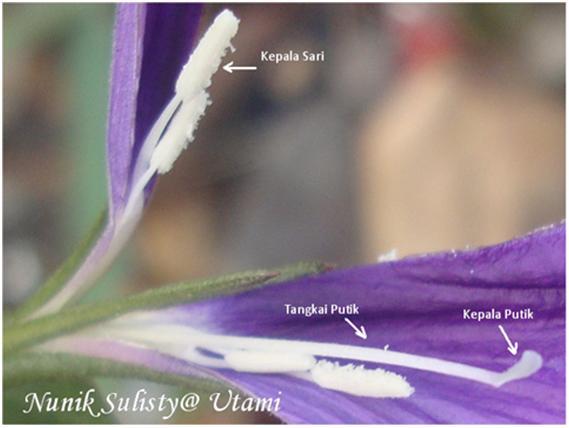 Ptik dan Benang sari Ruellia tuberosa