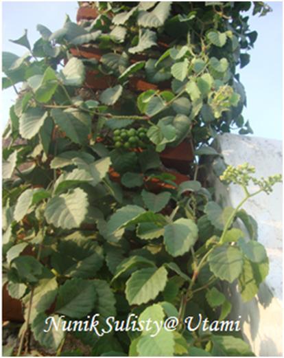 Habitus Cayratia trifolia