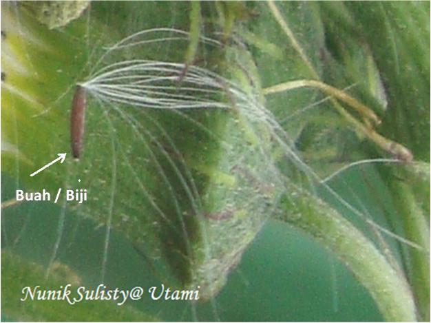 Buah / Biji  Crassocephalum crepidioides / Junggul