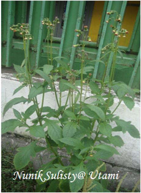 Habitus Crassocephalum crepidioides / Junggul
