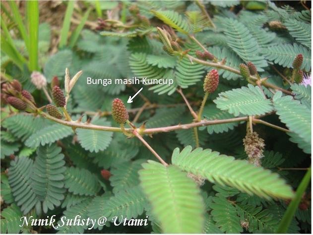 Kuncup bunga Mimosa pudica