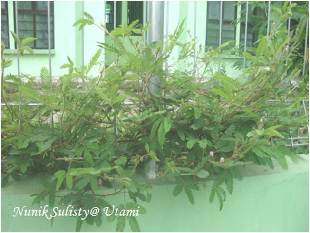 Habitus Mimosa pudica yang merayap