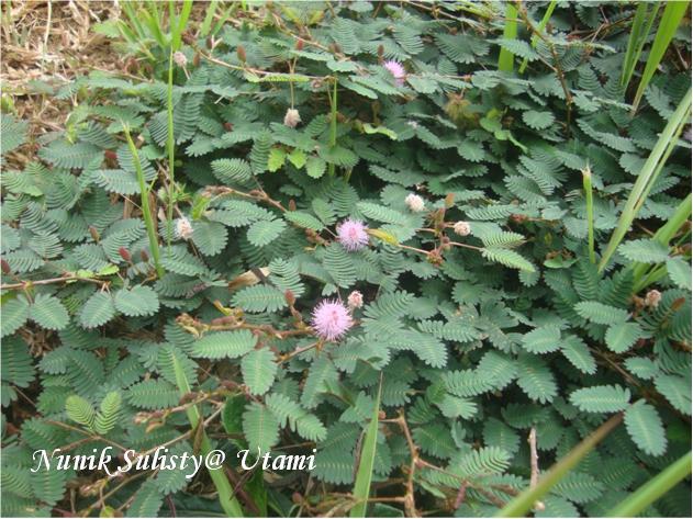 Mimosa pudica yang merayap pada permukaan tanah