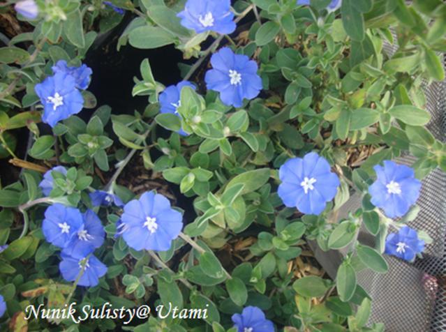 Bunga Biru 2