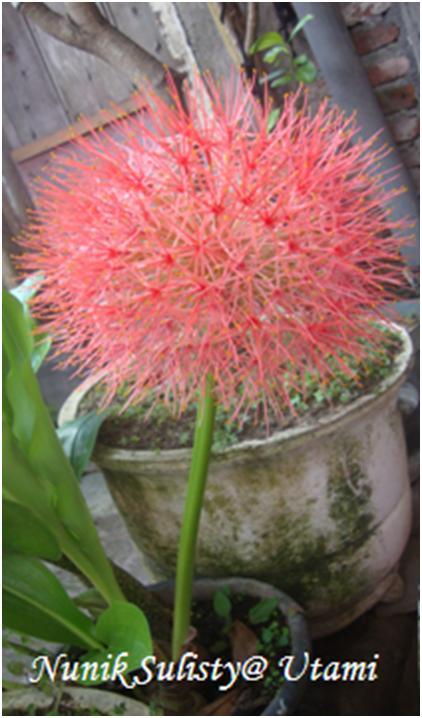 Karangan Bunga Scadoxus multiflorus